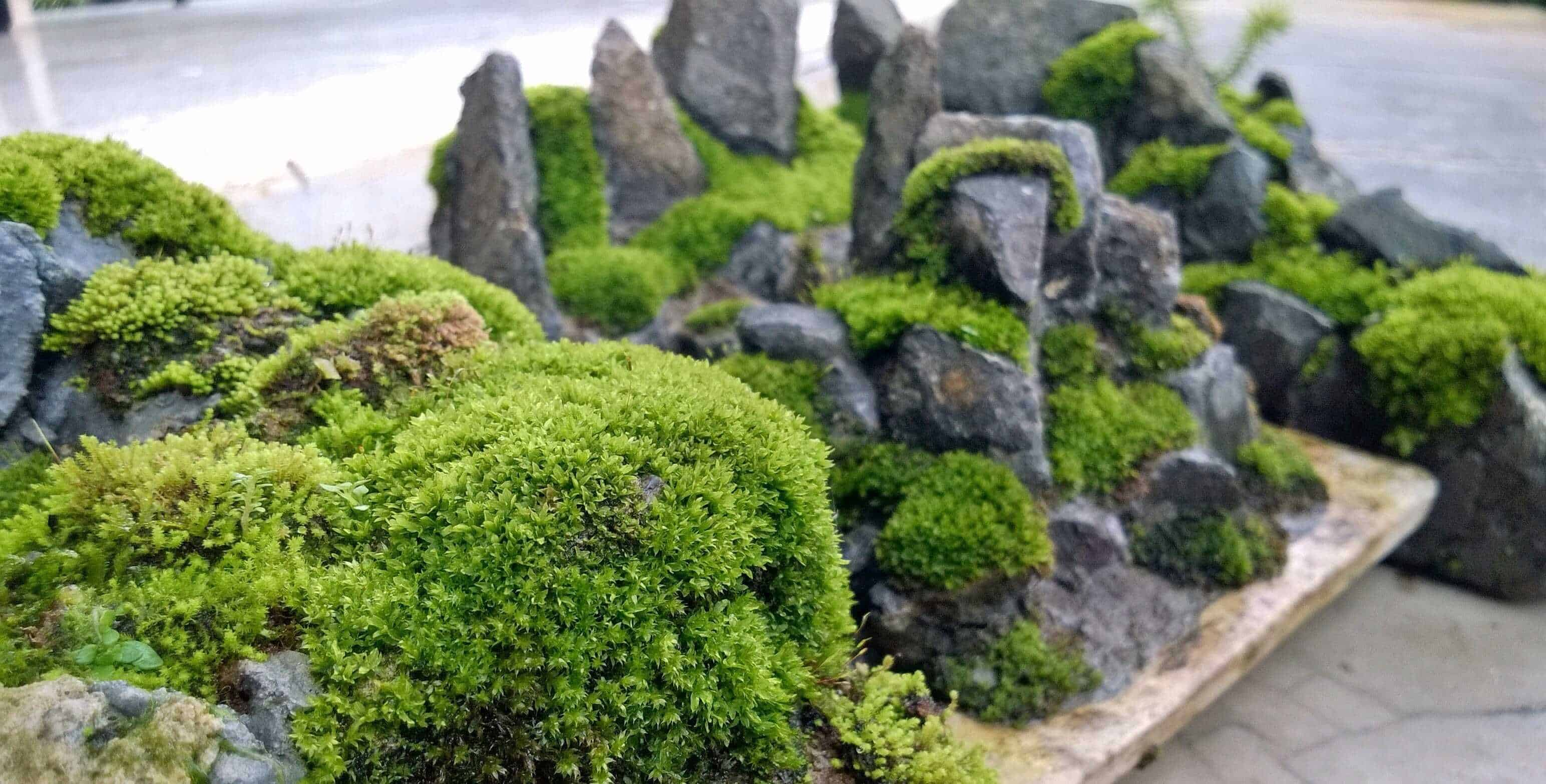 Growing moss in your fairy garden fairy gardening australia for Gardening australia